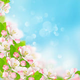 Spring flowers. Apple blossoms blue sky background Stock Photo