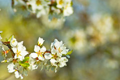 Spring flowers on an apple tree Royalty Free Stock Images
