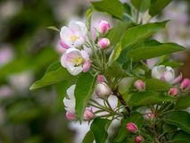 Spring flowers. Apple tree blossom with green leaves.  royalty free stock photo