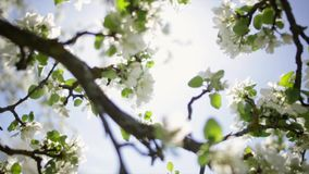 Spring flowers on an apple tree. stock video