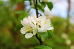 Spring flowers. Apple twig with a bouquet of flowers Stock Photos