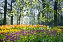 Spring flowers in april light. Spring flowers tulips and daffodils in april light Royalty Free Stock Image