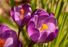 Spring flowers. Royalty Free Stock Photo