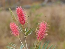 Spring flowers Australian Grevillea Coastal Sunset Royalty Free Stock Images