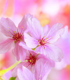 Spring flowers background with pink blossom Stock Images