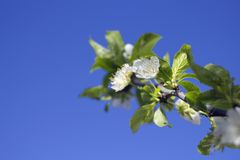 Spring Flowers background. Spring Plum Flowers branch on blue sky background royalty free stock images