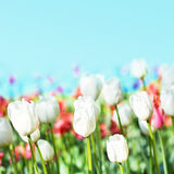 Spring flowers background.  Tulips on a blur blue sky backgroun Stock Photo