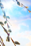 Art spring flowers background willow branch. Spring flowers background willow branch Stock Photography