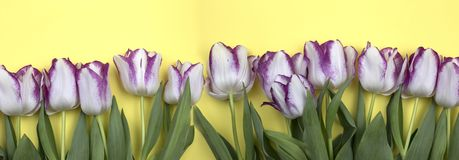 Spring flowers banner. beautiful White and purple tulips. Top view, copy space stock images