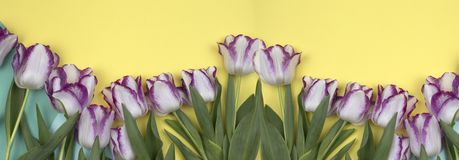Spring flowers banner. beautiful White and purple tulips. Top view, copy space royalty free stock photos