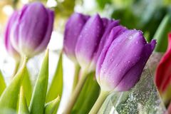 Free Spring Flowers Banner - Bouquet Of Pink Tulips Flowers On A Background Of Flowers, Water Droplets On Petals Stock Images - 116622644