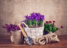 Spring flowers in basket with garden tools on wooden board Royalty Free Stock Image