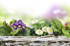 Spring flowers in basket, isolated Royalty Free Stock Photography