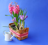 Spring flowers  in basket  and white watering can Royalty Free Stock Photography