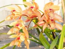 Spring flowers, Beautiful Cymbidium orchid Stock Image