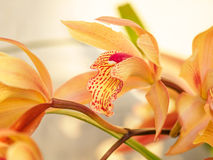 Spring flowers, Beautiful Cymbidium orchid Royalty Free Stock Images