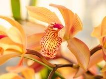 Spring flowers, Beautiful Cymbidium orchid Stock Photo