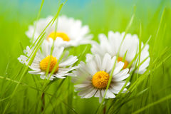 Spring flowers - Beautiful daisy. In green grass Stock Photos
