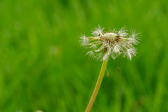 Spring flowers beautiful dandelions in green grass. Stock Photos