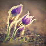 Spring flowers. Beautifully blossoming pasque flower and sun with a natural colored background. Pulsatilla grandis Photo old man Stock Images