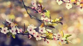 Spring flowers. Beautifully blossoming tree branch. Japanese Cherry - Sakura and sun with a natural colored background. Stock Image