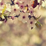 Spring flowers. Beautifully blossoming tree branch. Japanese Cherry - Sakura and sun with a natural colored background. Royalty Free Stock Photos