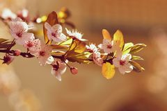Spring flowers. Beautifully blossoming tree branch. Japanese Cherry - Sakura and sun with a natural colored background. Stock Photos