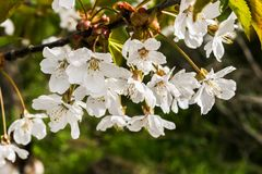 A branch of cherry blossoms. stock photography