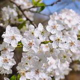 Spring flowers. Beautifully blossoming tree branch. Royalty Free Stock Images