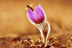 Spring flowers with bee. Beautifully blossoming pasque flower and sun with a natural colored background. Pulsatilla grandis Stock Photo