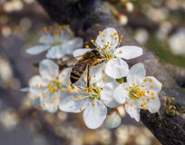 Spring flowers. Bee collecting honey on a flowering tree in spring Stock Images