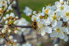 Spring flowers. Bee collecting honey on a flowering tree in spring Stock Photo