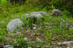 Spring flowers and big boulders in a grass Royalty Free Stock Photo