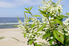 Spring flowers of bird cherry on a background of the sea. Stock Photos