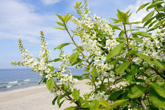 Spring flowers of bird cherry on a background of the sea. Royalty Free Stock Photo