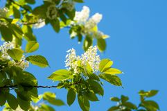 Spring flowers, bird Spring flowers, bird cherry. A tree with white fragrant flowers, collected in a brush, and black berries. Spring flowers, bird cherry. A stock photo
