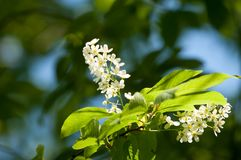 Spring flowers, bird Spring flowers, bird cherry. A tree with white fragrant flowers, collected in a brush, and black berries. Spring flowers, bird cherry. A stock image