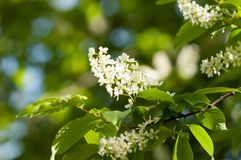 Spring flowers, bird Spring flowers, bird cherry. A tree with white fragrant flowers, collected in a brush, and black berries. Spring flowers, bird cherry. A royalty free stock photo