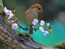 Spring flowers and birds, Bull-headed Shrike and cherry blossoms. 2018.03.06. Hangzhou, China stock photography