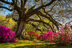 Spring Flowers Bloom at Charleston South Carolina Plantation. Under Live Oak Trees Royalty Free Stock Photos