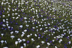 Spring flowers. Blooming crocuses in mountains Royalty Free Stock Photo