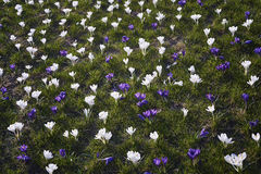 Spring flowers. Blooming crocuses in mountains Stock Image