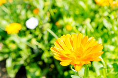 Spring flowers. Blooming in the garden Stock Image