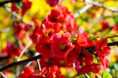 Spring flowers. Blooming red flowers on fruit tree Royalty Free Stock Image