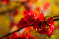 Spring flowers. Blooming red flowers on fruit tree Stock Images