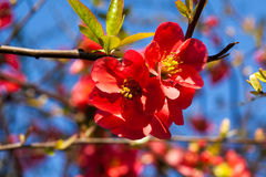 Spring flowers. Blooming red flowers on fruit tree, blue sky background Royalty Free Stock Images