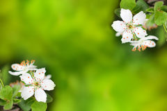 Spring flowers blooming white cherry on a blurred green backgrou Royalty Free Stock Photography