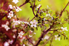 Spring flowers blooming white cherry closeup on a background  bl Stock Photo