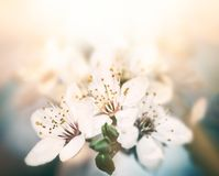Spring flowers blossom Royalty Free Stock Photo
