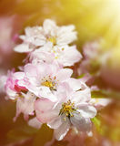 Spring flowers blossoms Royalty Free Stock Photos